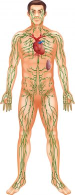 what lymph does - what lymph is -  lymph returns fluid to the bloodstream - lymphatic drainage lymphatic massage albuquerque