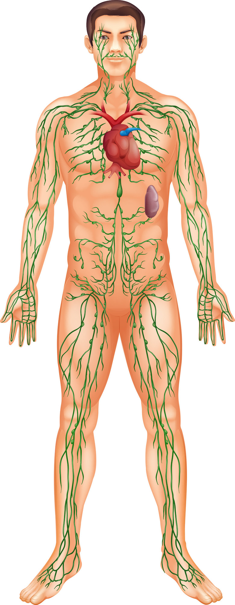 lymphatic system with the heart