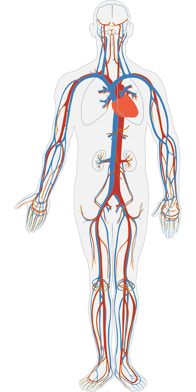 Circulatory System - Heart, Arteries,